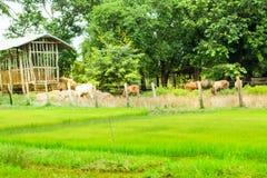 母牛和领域 免版税库存图片