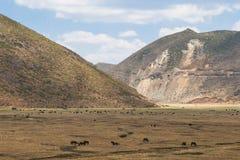 母牛和马在草甸香格里拉的,中国 免版税库存照片