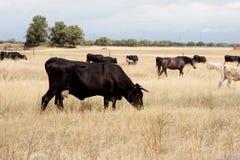 母牛和马在领域 免版税库存图片