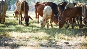母牛和黄牛与光 库存图片