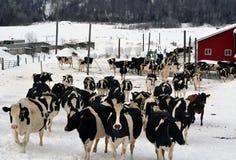 母牛和更多威胁两 库存图片