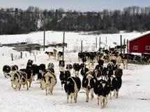母牛和更多母牛 免版税库存照片