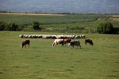 母牛和绵羊在牧场地 免版税库存图片