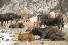 母牛和calfs在希腊的山 免版税库存照片