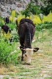 母牛哺养 库存图片