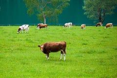 母牛哺养 免版税库存图片