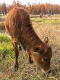 年轻母牛哺养 图库摄影