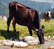 母牛喝 库存照片