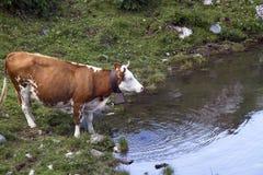 母牛喝 库存图片