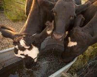母牛喝 免版税库存图片