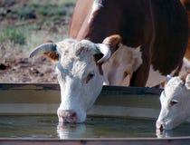 母牛喝 免版税库存照片