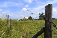 母牛围绕域牧群荷兰 免版税图库摄影