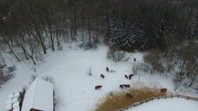 母牛在一个冬天种田,鸟瞰图 股票录像