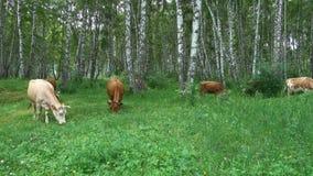 母牛在一个绿色草甸吃草 股票视频