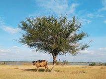 母牛在一个遮荫斑点站立在树下 库存图片