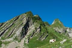 母牛在一个高山牧场地 图库摄影