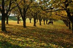 母牛在一个黄色秋天庭院里 免版税库存照片