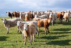 母牛在一个绿色草甸 库存照片