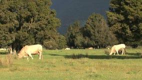 母牛在一片草原在新西兰 股票视频