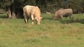 母牛在一片草原在新西兰 影视素材