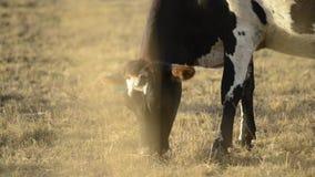 母牛在乡下 影视素材