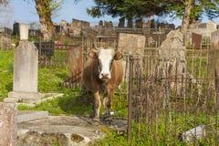 母牛在公墓,阿布哈兹 免版税图库摄影