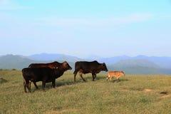 母牛在农厂sai kung经常收留 库存照片