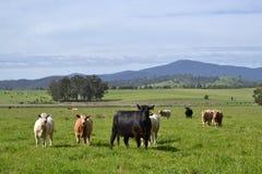 母牛在农场 免版税库存照片
