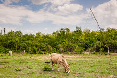 母牛在农田里 库存图片