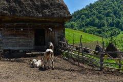 母牛在农田里 免版税库存照片