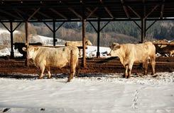 母牛在冬天 免版税库存照片