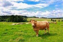 母牛在南波希米亚 图库摄影