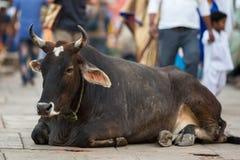 母牛在印度城市的拥挤的街中间说谎 自然 免版税库存照片