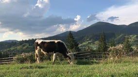 母牛在喀尔巴汗的山的一个绿色领域吃草 影视素材