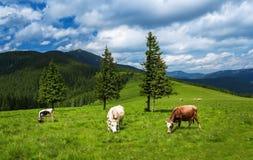 母牛在喀尔巴汗的山草甸吃草 免版税库存照片