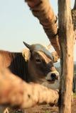 母牛在国家边 免版税库存图片