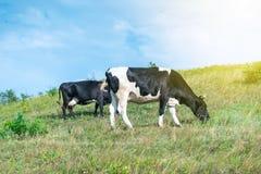 母牛在夏天牧场地在阳光天 母牛在倾斜吃草 行 免版税图库摄影