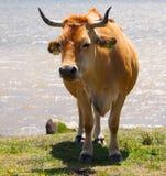 母牛在夏天 库存照片