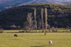 母牛在多山冬天风景草甸 图库摄影