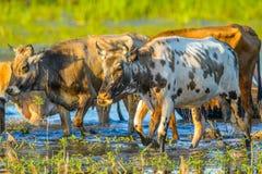 母牛在多瑙河三角洲的水域中, 免版税库存图片