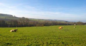 母牛在小山的一个草甸在阳光下 免版税库存照片