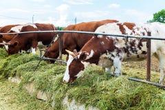 母牛在小牧场,在牛的牧人图片 免版税库存图片