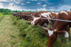 母牛在小牧场-在牛的牧人图片 免版税图库摄影