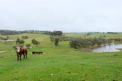 母牛在小牧场 库存照片