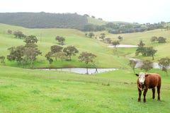 母牛在小牧场 库存图片