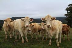 母牛在小牧场 免版税库存图片