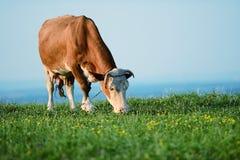 母牛在山吃草 免版税库存照片
