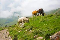 母牛在山的一个牧场地 免版税库存图片
