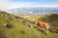 母牛在山的一个牧场地 免版税图库摄影
