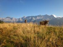 母牛在山草甸 免版税图库摄影